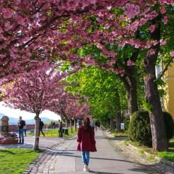 Cherry Blossom pathway