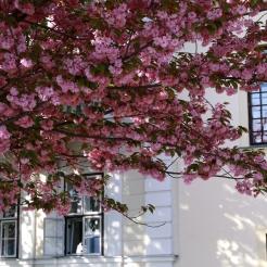 Cherry Blossom at Buda Castle