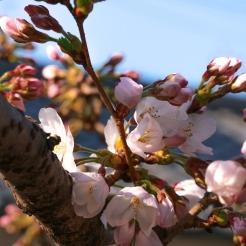 A zoom in of a Sakura flower