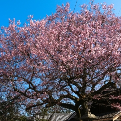 Walking sometimes is the best way to find hidden Sakura trees