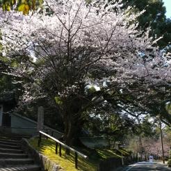 Spotted this beautiful white Sakura tree during my walk