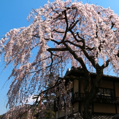 A grandiose Sakura tree in Masuyacho
