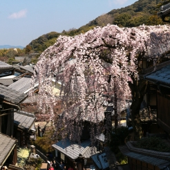 A sight not to be missed in Masuyacho