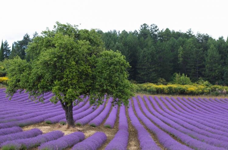 lavender (6 of 11)