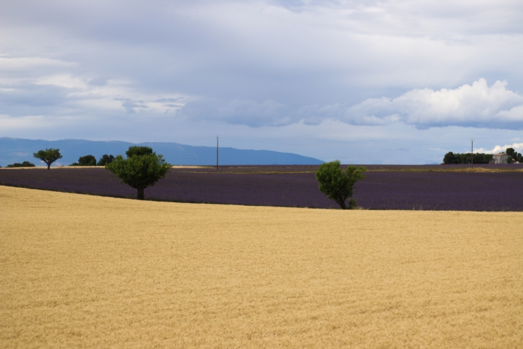 lavender (8 of 11)