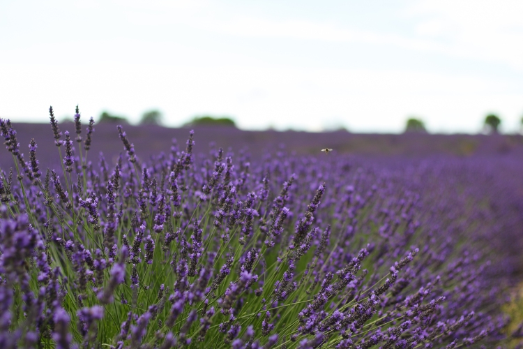 lavender (9 of 11)